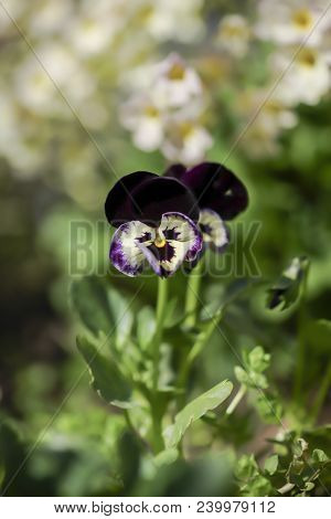 Blue Violet Flower, Pansy Spring Color Paired. Isolated On The Sun Close-up Shot