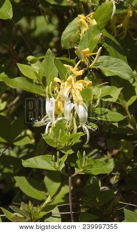 A Honeysuckle Plant Glistens In The Early Morning Sun In A Garden In Wilmington North Carolina