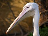 photo of white pelicans in zoological gardens poster