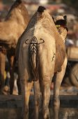 Camel with painted tail at Pushkar Camel Fair Rajasthan India poster
