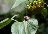 A small sparrow on a sunflower leaf,catching its prey poster