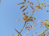 A sparrow perched on a acacia twig poster