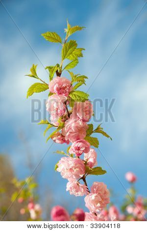 a branch with beautiful pink flowers against the blue sky. Amygdalus triloba
