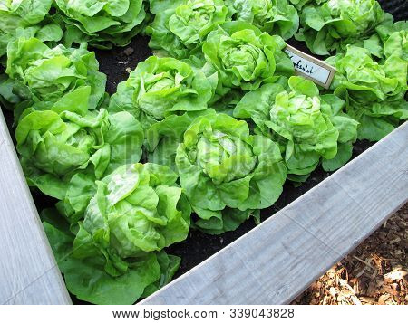 Green Cabbage Lettuce In A Wooden Raised Garden Bed Made Of Wood