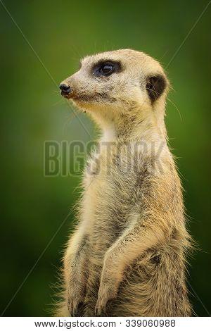 Close Up Of A Meerkat (suricata Suricatta) Sitting On A Branch. Photo From Animal World. Detail Port
