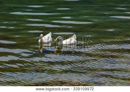 Two Large White Heavy Ducks Also Known As American Pekin Duck, Long Island Duck, Pekin Duck, Aylesbu