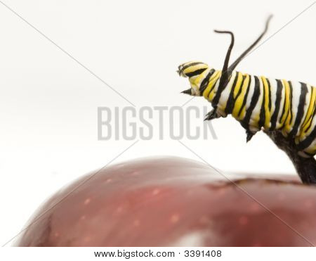 Monarch Caterpillar Reaching Off Edge Of Red Apple