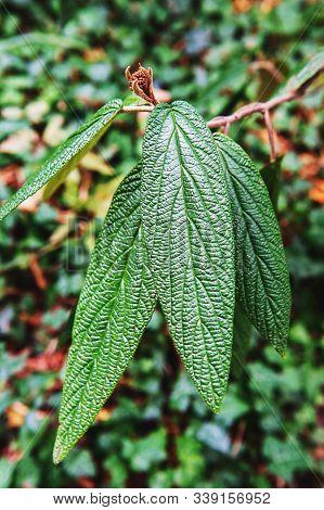Viburnum Rhytidophyllum-viburnum Leathery, Viburnum Wrinkled. Long Textured Leaves On The Branch. Be