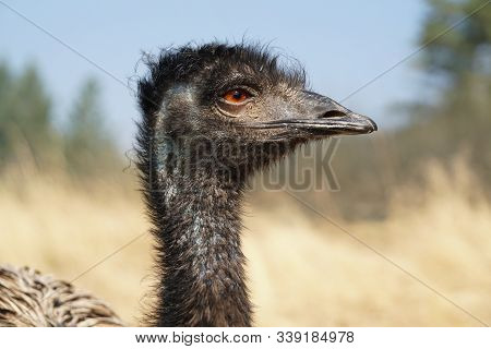 A Side View Of A Large Emu With Bright Amber Eyes Looking Off In The Distance.