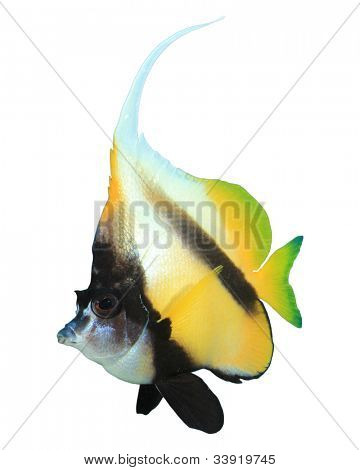 Red Sea Bannerfish isolated on white background