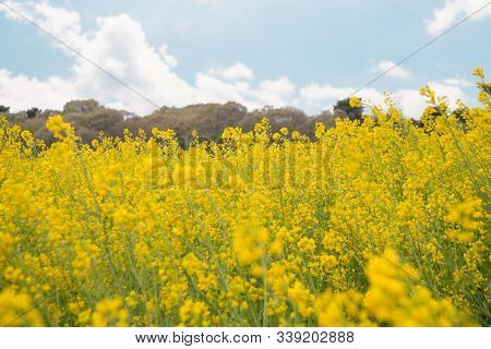 Beautiful Yellow Rapeseed Field Blooming Under The Blue Sky. (bright Yellow Rapeseed Oil. Flowering