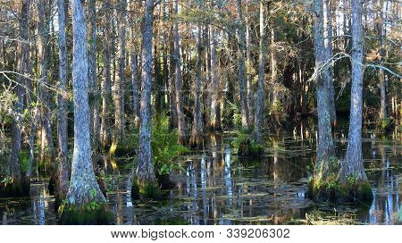 Colorful Cypress Trees In Swamp During Winter