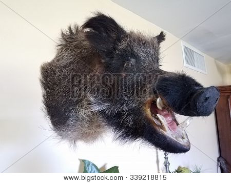 Wild Boar Head On Wall With Fur And Tusks