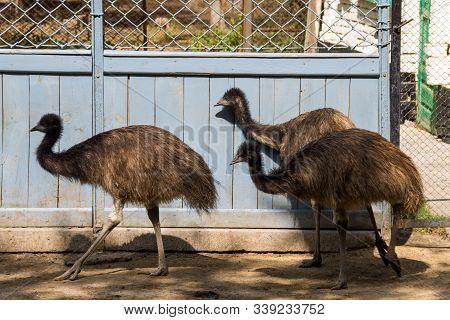 Emu (dromaius Novaehollandiae) On A Farm Yard