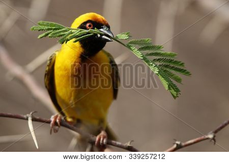 Yellow African Bird With Bright Plumage On A Branch Builds A Nest.
