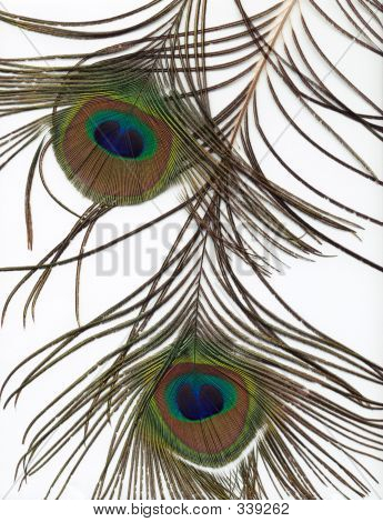 Peacock Feather Background