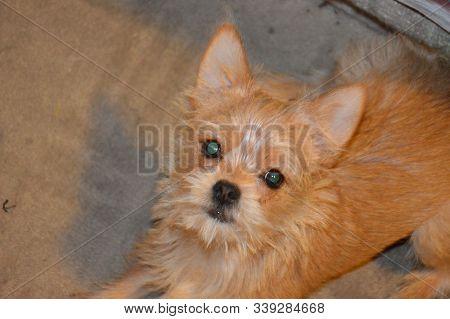 Chihuahua Dog Puppy Playing Close-up Short Hair, Buddy