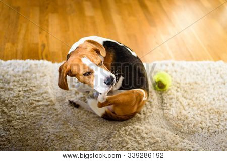Dog Beagle Scratches Himself On Carpet, Indoors. Dog Background