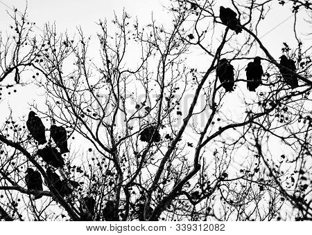 A Committee Of Vultures Roosting In A Tree