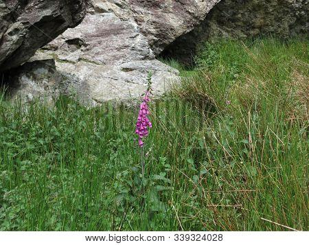 Single Wild Pink Foxglove Flower Growing In A Green Meadow Between Grey Slate Rocks In Snowdonia, No