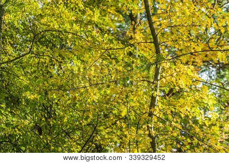 A Background Shot Of Yellow Autumn Leaves.