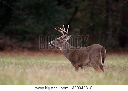 Large Whitetailed Deer Buck