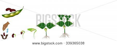 Cycle Of Growth Of A Bean Plant Isolated On A White Background.