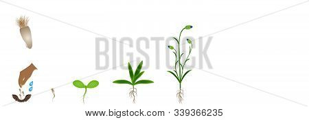 Cycle Of Growth Of A Blue Cornflower Isolated On A White Background.