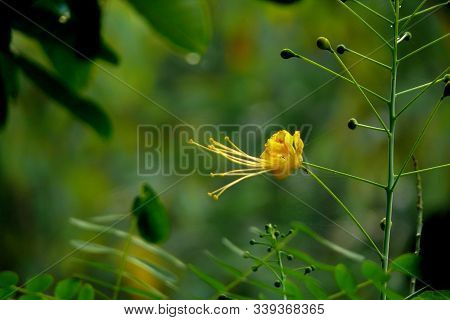 Flower Crowns, Anthers, Stamens, Pistil And Pistil Are All Yellow