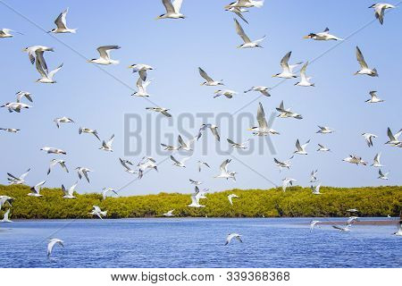 The Group Of Birds, Sandwich Terns In Seabird Park And Reserve Of Senegal, Africa. They Are Flying I