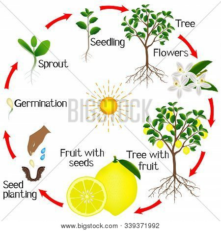 Cycle Of Growth Of A Lemon Tree On A White Background.