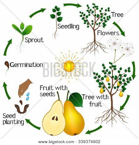 Cycle Of Growth Of A Pear Tree On A White Background.