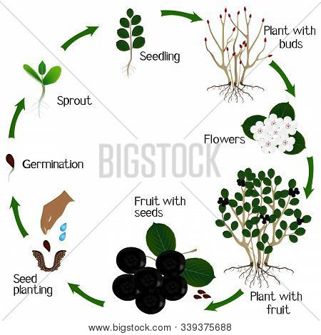 Cycle Of Growth Of A Plant Of A Bush Black Chokeberry (aronia Melanocarpa) Isolated On A White Backg