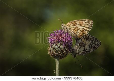A Couple Of Marbled White Butterflies Copulating On Purple Thistle Flower On A Summer Sunny Day. Blu