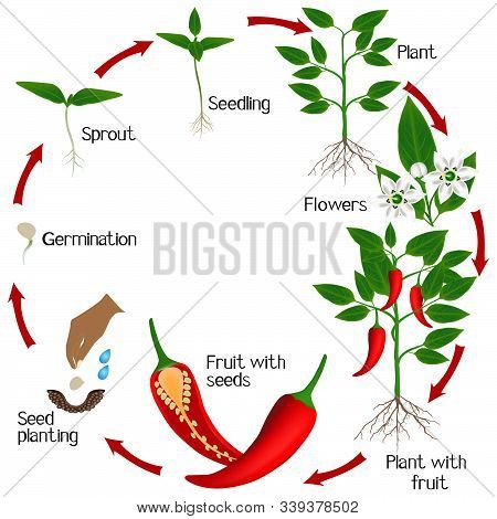Cycle Of Growth Of A Plant Of Chili Peppers On A White Background.