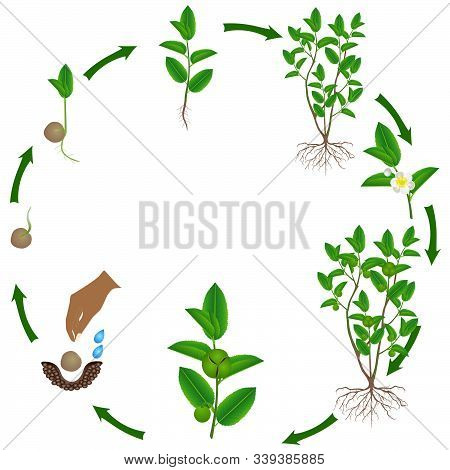 Cycle Of Growth Of Green Tea (camellia Sinensis) Plant.
