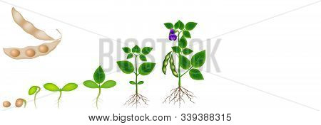Cycle Of Growth Of Soybean Plant Isolated On White Background.