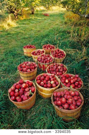 Apple Orchard Harvest