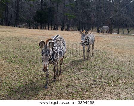 Zebra Crossing The Plain