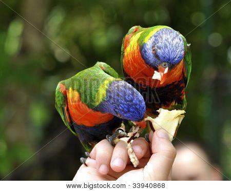 Two beautiful Rainbow Lorikeets