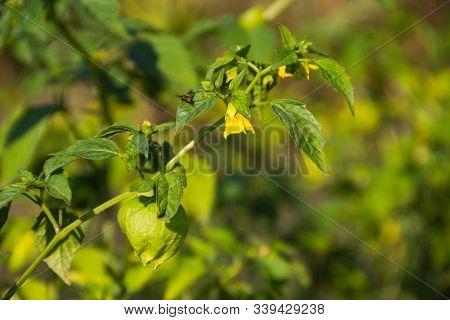 Tomatillo (physalis Philadelphica) Or Mexican Husk Tomato. Solanaceae Family