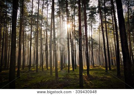 Igh Pine Forest. November Morning. Fog Rises Between The Trees, Illuminated By The Rays Of The Risin