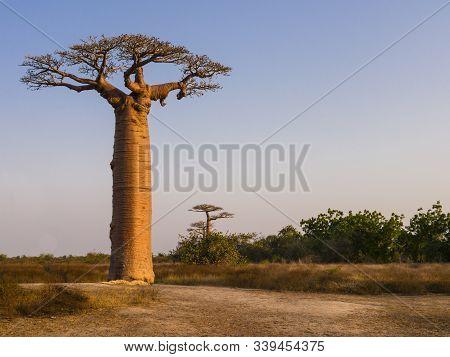 African Landscape With Majestic Baobab Tree, Morondava, Madagascar