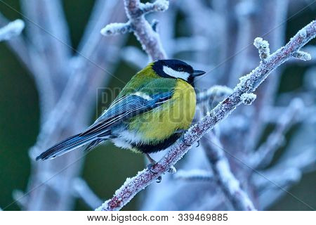 Bird - Great Tit ( Parus Major ) Sitting On A Branch Of A Tree. Close-up..