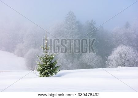 Small Spruce Tree On The Snow Covered Meadow. Distant Forest In Hoarfrost. Foggy And Frosty Weather.