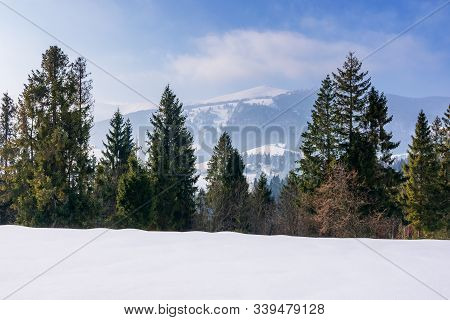 Spruce Trees On The Snow Covered Mountain Meadow. Beautiful Winter Scenery With The Distant Ridge. S