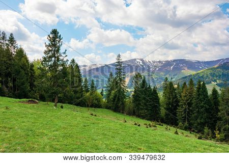 Spruce Forest On A Grassy Hill In Mountains. Springtime Landscape In Dappled Light. Tops Of Distant