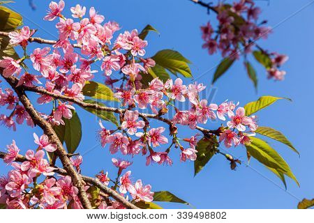 Closeup Of Wild Himalayan Cherry (prunus Cerasoides) Or Thai Sakura Flower Nature Background. Nature