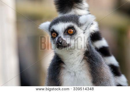 Close Up Portrait Of A Ring Tailed Lemur (lemur Catta).