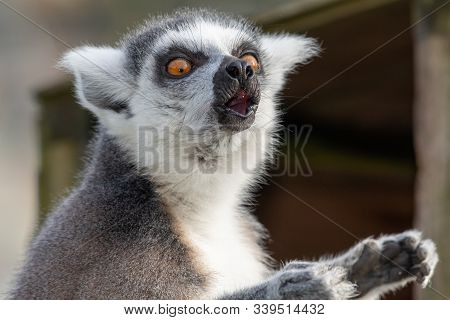 Close Up Portrait Of A Ring Tailed Lemur (lemur Catta) That Is Calling Out.